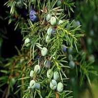 Juniper Berries Manufacturers