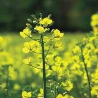 White Mustard Seeds Manufacturers