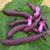 Purple Bean Manufacturers