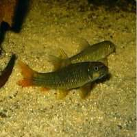 Garra Rufa Fish Manufacturers