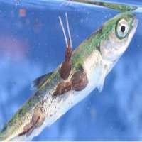Wild Fish Manufacturers