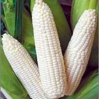 白玉米 制造商