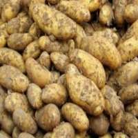Tuber Vegetables Manufacturers