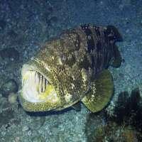 Grouper Fish Manufacturers
