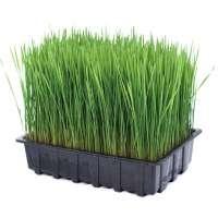 小麦草 制造商