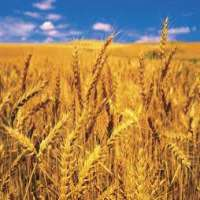 Wheat Manufacturers
