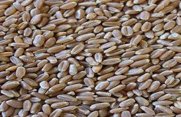 硬红冬小麦等级 制造商