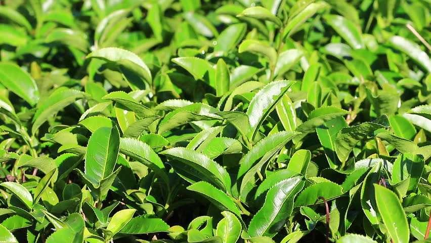收获绿茶 制造商
