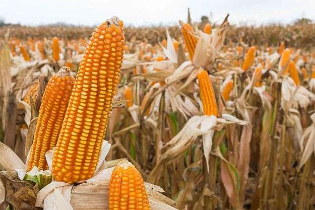 Harvesting Field Corn Manufacturers
