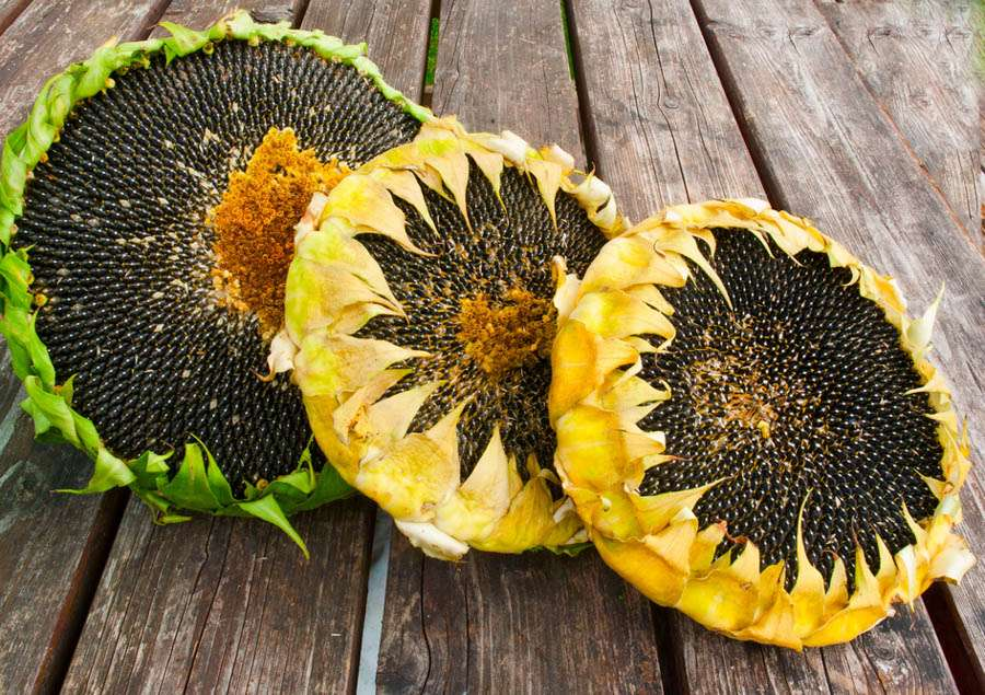 Harvesting Sunflower Plant Manufacturers
