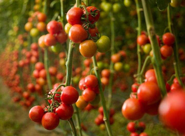 收获番茄植株 制造商