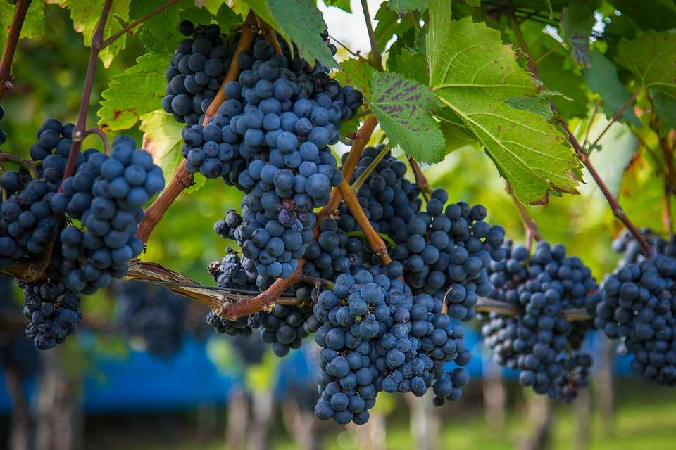 Harvesting Wine Grape Manufacturers
