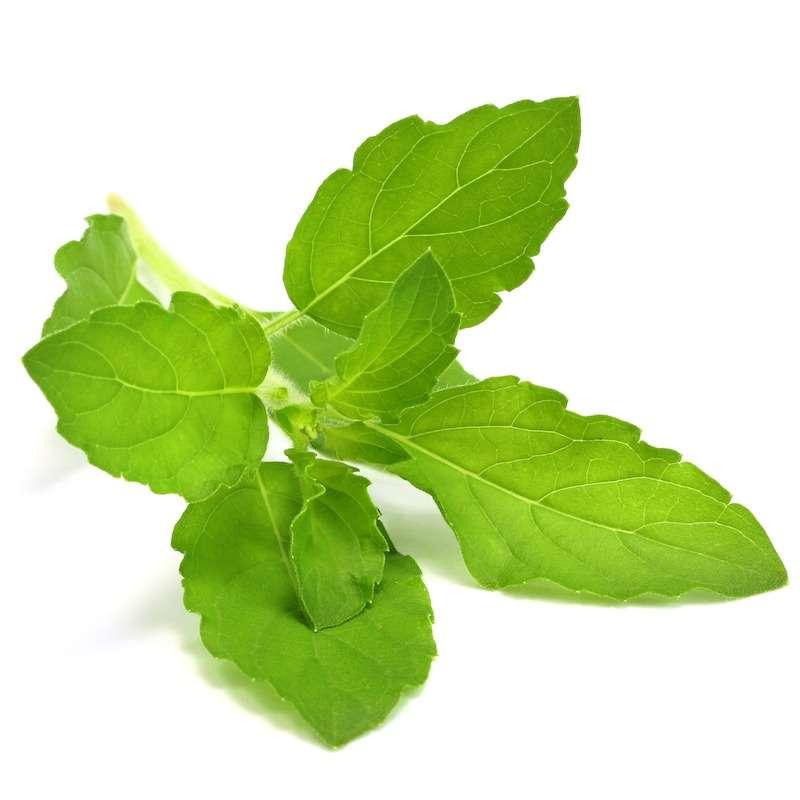 Holy Basil Leaf Manufacturers