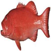 Coral Trout Manufacturers