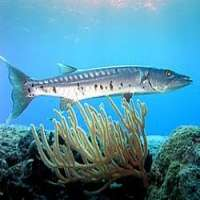 Barracuda Fish Manufacturers