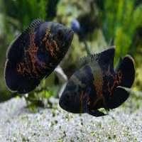 Oscar Fish Manufacturers