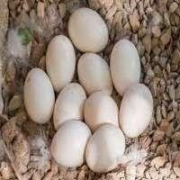 Bird Eggs Manufacturers