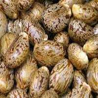 Castor Oil Seeds Manufacturers