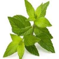 绿茶叶 制造商