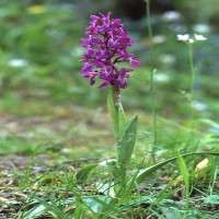 Orchis Mascula 制造商