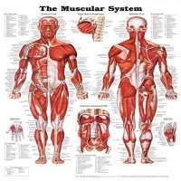 Human Anatomy Charts Manufacturers