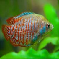 Freshwater Fishes Manufacturers