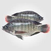 罗非鱼鱼 制造商
