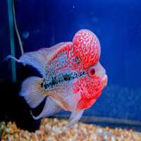 Flowerhorn Fish Manufacturers