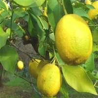 香橼柠檬Interdonato喇嘛柠檬