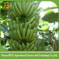 新鲜的绿色香蕉