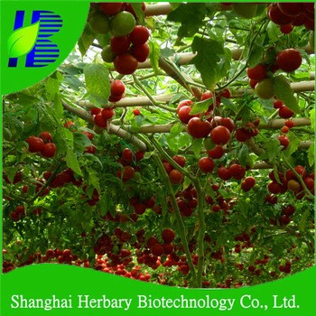 Hybrid vegetable tree tomato seeds