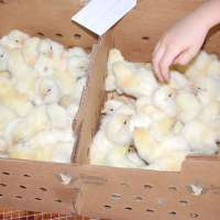 Broiler Chicks