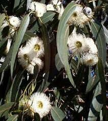 Eucalyptus Oil Used in Biopesticide